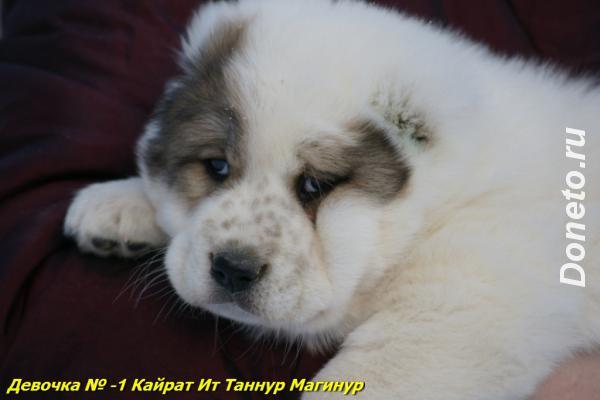 Среднеазиатской овчарки щенок девочка