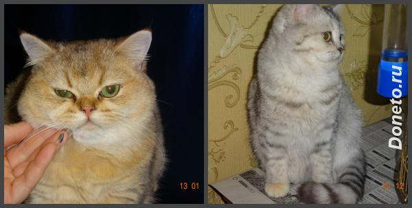 Питомник golden magic предлагает британских котят.